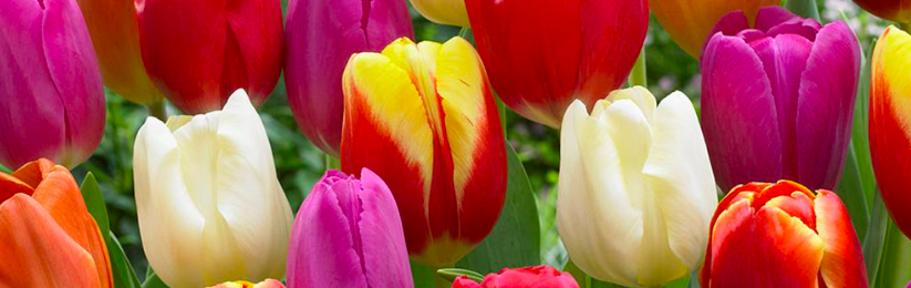 Free Pack of Tulip Bulbs