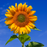 Free Sunflower Seeds – 100,000 Available