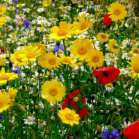 Free Wildflower Seeds – 15,000 Available